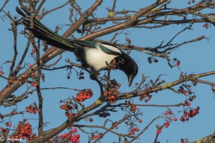 Magpie in rowan (5)